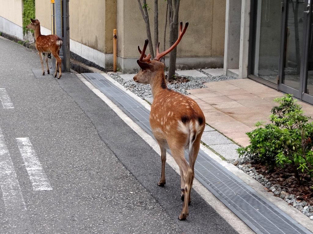Căprioarele sunt prezenţe obişnuite pe străzile oraşului