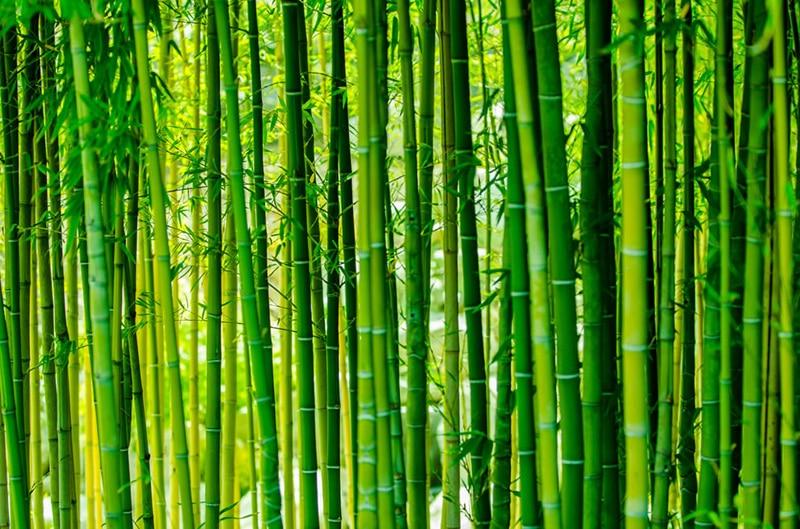 Pădurea de bambuşi, un loc deosebit!