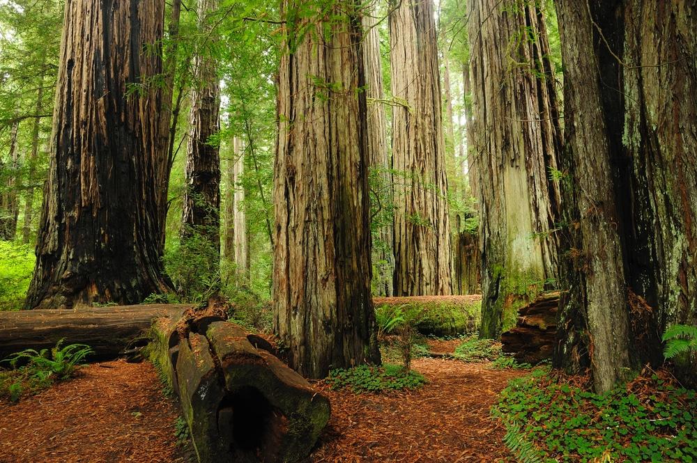 Parcul Naţional Redwood, California